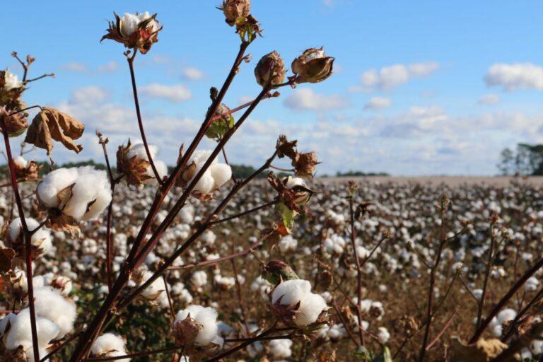 Organic Cotton vs. Recycled Cotton